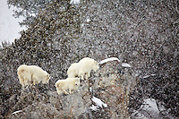 Mountain Goats, Snowstorm, Snake River Range, Alpine, Wyoming, cliff, snow, winter