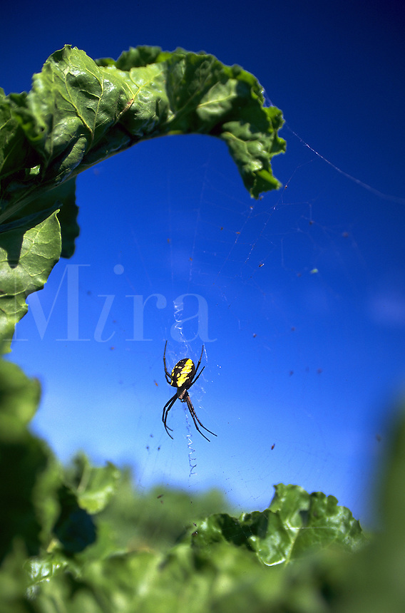 A Common garden spider dangles from a web suspended from a leaf.