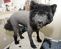 Cookie, a 10 year old Chow mix after he is shaved. Shaving long-haired dogs in the summer can help keep them cool.
