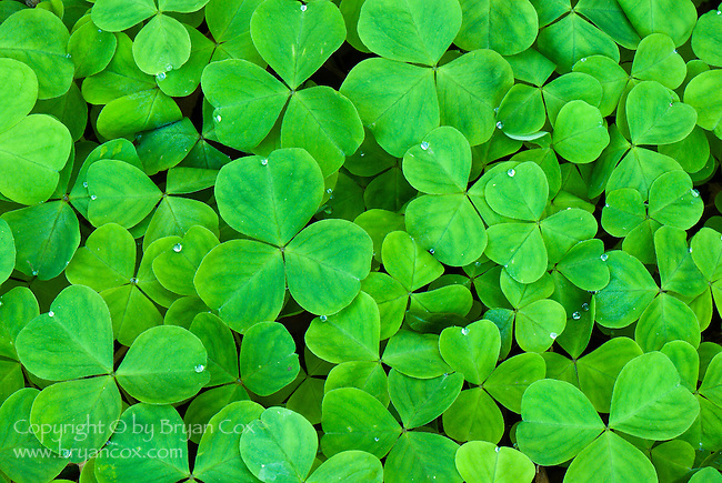 Oxalis Oregana (redwood sorrel), Coast mountain range, Oregon