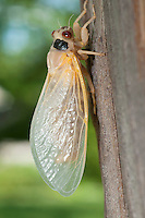 CICADA BROOD II<br /> Molting Cicada<br /> Brood II Cicada in Westfield, NJ. Adult Cicada molting after 17 years underground. Their bodies appear white but their exoskeleton will harden and darken quickly.