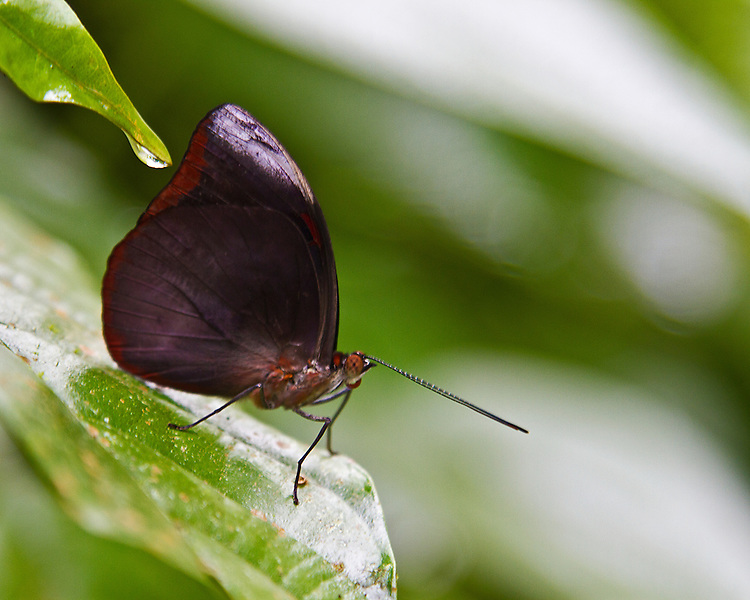 A Grecian Shoemaker stands on a battered leaf in beautiful profile with dark red wing tips, antennae projected forward and eye and probiscus clearly defined against a green and white background.