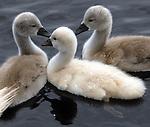 HUNTINGTON-JUNE 12, 2006: Baby Swans in the pond in Hecksher Park in Huntington on Monday June 12, 2006.  (Newsday Photo/Jim Peppler)