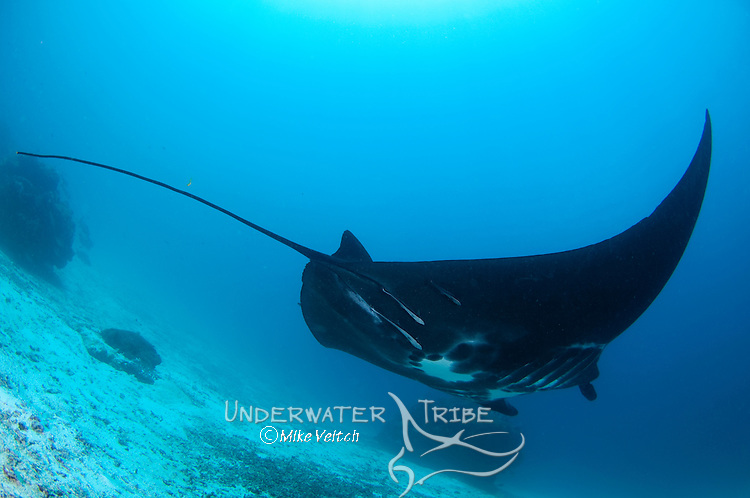 A black Manta ray, Manta birostris, Manta Sandy, Dampier Strait, Raja Ampat, West Papua, Indonesia, Pacific Ocean