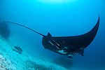 A black Manta ray, Manta birostris, Manta Sandy, Dampier Strait, Raja Ampat, West Papua, Indonesia, Pacific Ocean