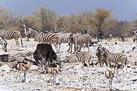 Zebra, Ostrich and Springbok at waterhole, Etosha NP, Namibia