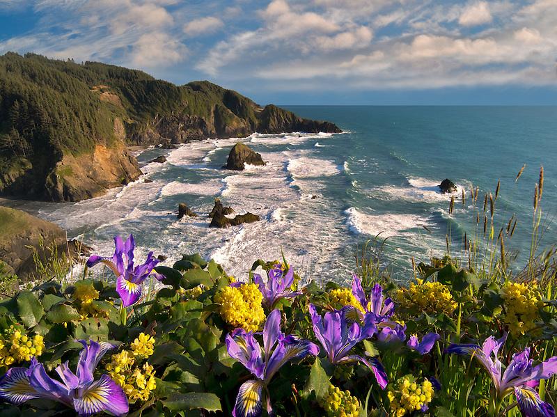 Wild Iris and Oregon Grape growing on cliff overlooking Samuel H. Boardman State Scenic Corridor. Oregon