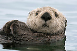 SORAC: One Sea Otter at a Time