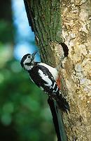Buntspecht, Weibchen am Eingang zur Bruthöhle, Bunt-Specht, Specht, Spechthöhle, Dendrocopos major, Picoides major, great spotted woodpecker