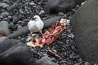 A Black-faced Sheathbill feasts on a Rockhopper Penguin carcass, Heard Island