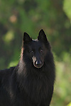 Belgian Sheepdog<br />