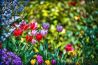 Descanso Gardens, La Canada, Flintridge, Tulips, botanic, colorful, blooming, spring, garden, horticulture, flora, botanic, colorful, blooming, spring, garden, horticulture