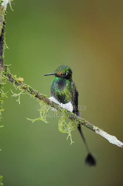 Booted Racket-tail (Ocreatus underwoodii), male perched,Mindo, Ecuador, Andes, South America