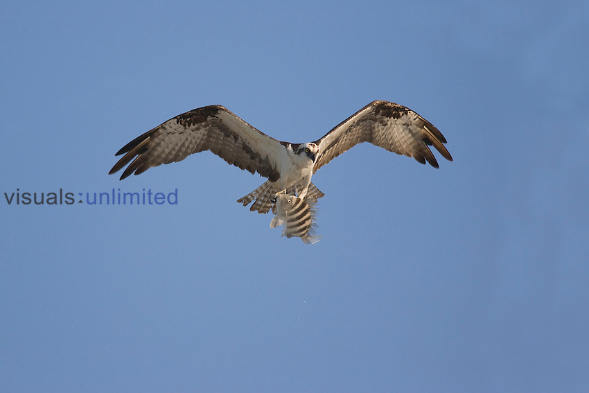 Osprey flying with fish in talons (Pandion haliaetus), Ft. Myers, Florida, USA.
