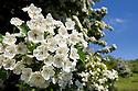 Hawthorn blossom {Crataegus monogyna}, Bonsall, Peak District National Park, Derbyshire, UK. June.