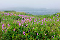 Fireweed in fog and Bay of Fundy