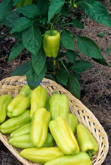 Pepper Sweet 'Hybrid Gypsy' on plant and in basket
