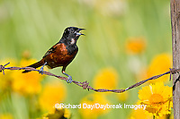 01618-009.12 Orchard Oriole (Icterus spurius) male singing on barbed wire fence near flower garden Marion Co. IL