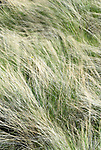Grass blowing in the wind, near Clarno, Oregon