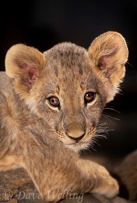 656259168 portrait of a young african lion cub panthera leo  at a wildlife rescue facility species is native to sub-saharan africa