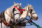 Two harnessed white horses with decorative holiday ribbons close-up over blue sky background Ukraine Eastern Europe Shrovetide celebration 2007