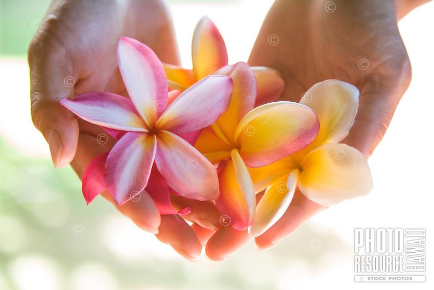 Plumeria, frangipani, pua melia, fragrant flower, in woman's hands