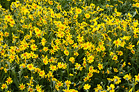 Lasthenia californica. Common Goldfields, in bloom at the Carrizo Plain National Monument in California.