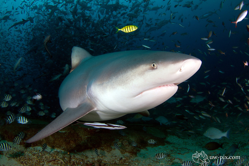 The bull shark, Carcharhinus leucas, also known as the Zambezi shark (UK: Zambesi shark) or unofficially Zambi in Africa and Nicaragua shark in Nicaragua, is a shark commonly found worldwide in warm, shallow waters along coasts and in rivers. The bull shark is known for its aggressive nature, predilection for warm shallow water, and presence in brackish and freshwater systems including estuaries and rivers.<br /> The bull shark can thrive in both saltwater and freshwater and can travel far up rivers. They have even been known to travel as far up as Indiana in the Ohio River, although there have been few recorded attacks. They are probably responsible for the majority of near-shore shark attacks, including many attacks attributed to other species. Bull sharks are not actually true freshwater sharks, despite their ability to survive in freshwater habitats.<br /> The name bull shark comes from the shark's stocky shape, broad, flat snout, and aggressive, unpredictable behavior. Its wide range and diverse habitats result in many other local names, including Ganges River shark, Fitzroy Creek whaler, van Rooyen&rsquo;s shark, Lake Nicaragua shark, river shark, freshwater whaler, estuary whaler, Swan River whaler, cub shark, and shovelnose shark.<br /> Bull sharks are large and stout, with females being larger than males. The bull shark can be up to 81 cm in length at birth Adult female bull sharks average 2.4 m long and typically weigh 130 kg, whereas the slightly smaller adult male averages 2.25 m and 95 kg. While a maximum size of 3.5 m is commonly reported, there are records of specimens as large as 4 m and of weights as high as 575 kg. Bull sharks are wider and heavier than other requiem sharks of comparable length, and are grey on top and white below. The second dorsal fin is smaller than the first.<br /> The bull shark's caudal fin is longer and lower than that of the larger sharks, it also has a small snout, and it lacks an interdorsal ridge.