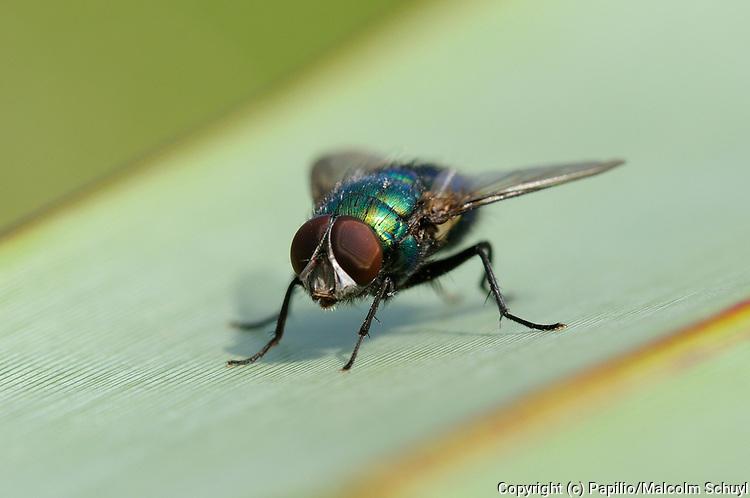 Greenbottle Fly (Lucilia caesar) Oxfordshire, UK.