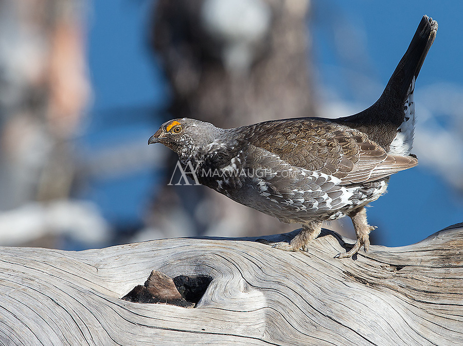 A male Blue grouse patrols a log he uses for his displays and drumming.