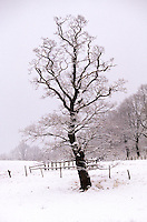 Stiel-Eiche, Stieleiche, Eiche, im Schnee im Winter, Quercus robur, English Oak, Chêne commun