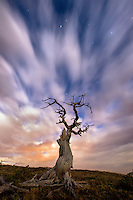 Five minute exposure captures cloud streaks behind a gnarled Whitebark Pine, illuminated by a full moon.