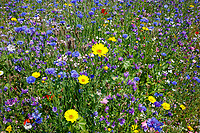 Wild flower mix, farm margin - Lincolnshire, July