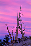 Great Basin Bristlecone Pines (Pinus longaeva) glow in pre-dawn light at 11,000 ft (3,392m). Ancient Britlecone Pine Forest, Inyo County, Inyo National Forest, White Mountains, CA.