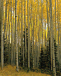 Autumn aspen trees and spruce trees in the San Juan Mountains, Telluride, Colorado. .  John offers private photo tours and workshops throughout Colorado. Year-round.