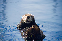 southern sea otter, enhydra lutris nereis, resting, note limbs are kept uot of water and crossed to keep warm, monterey, california, USA, pacific ocean, national marine sanctuary, endangered species