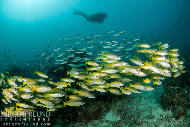 Schooling bluestripe snapper (Lutjanus kasmira) with fusiliers and a diver. North Raja Ampat, West Papua, Indonesia