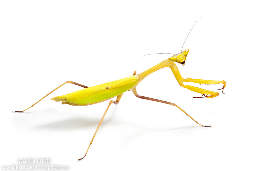 Praying mantis {Oxyopsis sp.}.  Photographed on a white background. Captive, orginating from lowland rainforest, Ecuador.