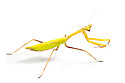 Praying mantis {Oxyopsis sp.}.  Photographed on a white background. Captive, orginating from lowland rainforest, Ecuador. website