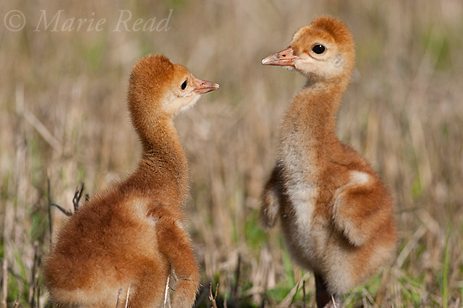 Sandhill Crane (Grus canadensis), Florida race, two chicks a few days old, near Kissimmee, Florida, USA