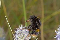 Buff-tailed Bumblebee - Bombus terrestris - queen, dark form.