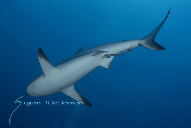 A Remora servicing female shark's female parts