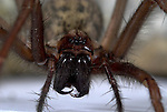 House Spider, Tegenaria gigantea, on brick, close up showing fangs, fear, .United Kingdom....