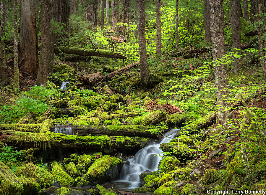 Olympic National Park, WA:<br /> Mossy stream, early spring, Sol Duc valley