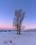 Yellowstone National Park, Wyoming/Montana:<br /> Cottonwood trees in the Lamar Valley against the colored dawn sky of winter