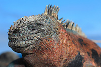 qs40370-D. Marine Iguana (Amblyrhynchus cristatus). Galapagos Islands, Ecuador, Pacific Ocean.<br /> Photo Copyright &copy; Brandon Cole. All rights reserved worldwide.  www.brandoncole.com