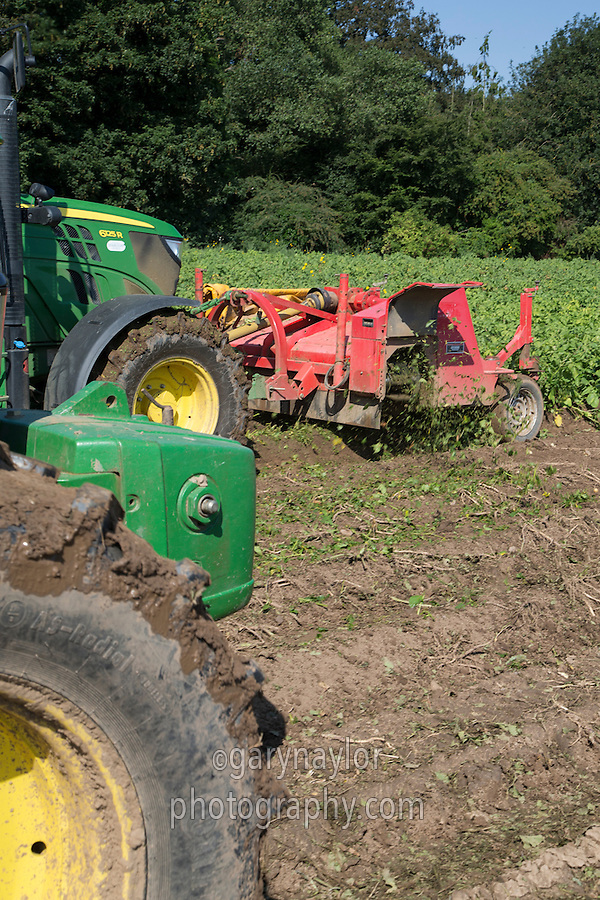 Green top lifting Agria potatoes for chipping - August; Lincolnshire