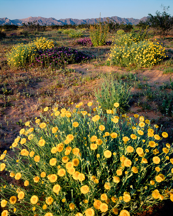 Wooly Marigolds (Baileya pleniradiata) and Vervain (Verbena sp.) on the Pinta Sands; Cabeza Prieta National Wildlife Refuge, AZ