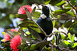 "Tui, photographed on Tiritiri Matangi. Tui - known in English as the ""Parson Bird"" because of its white ruff. Spotted this on in a Pohutukawa tree on Tiri Tiri Matangi. They're quite plentiful on the island, and make lots of noise.They're clever birds, can can mimic lots of things - including humans and mobile phones - thank to their two voiceboxes! Some of the sounds they make are inaudable to humans - they're outside our spectrum of hearing. They're also quite agressive - I did see them involved in many tussles with each other as well as other species of birds on Tiritiri.....The Pohutukawa is also known as the New Zealand Christmas Tree."