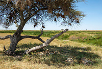A group of Lions, Panthera leo  melanochaita, rest in the shade of a tree in Serengeti National Park, Tanzania